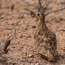 Sandgrouse at Tsavo East National Park