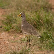 African wattled lapwing, Kidepo Valley National Park