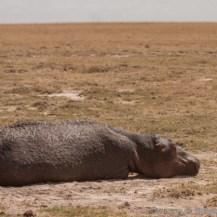 Hippopotamus at Amboseli National Reserve