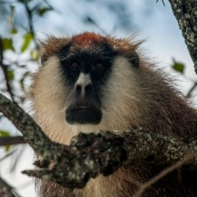 Eastern patas monkey (Erythrocebus patas pyrrhonotus), Kidepo Valley National Park