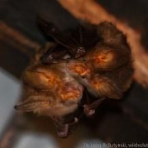 Hairy slit-faced bat (Nycteris hispida), Lake Jipe, Tsavo West National Park