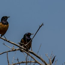 Hildebrandt's starling, Lolldaiga Hills Ranch