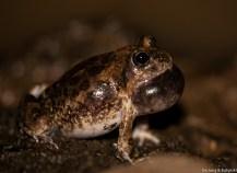Sand frog (Tomopterna sp.), Lepile Dam, Lesirikan, Samburu County, Kenya.