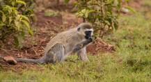 Hilgert's vervet monkey (Chlorocebus pygerythrus hilgerti). South Western Mau Forest Reserve