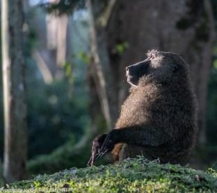 Olive baboon (Papio anubis), Kibale Forest NP, Uganda.