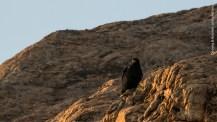 Verreaux's Eagle (Aquila verreauxii), Lolldaiga Hills Ranch, Laikipia.