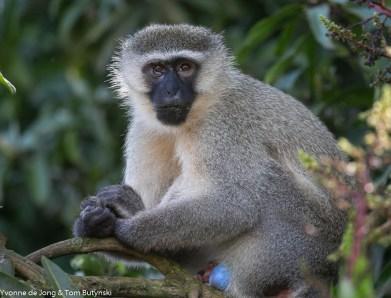 Vervet monkey Chlorocebus pygerythrus, Bujjagali, Uganda