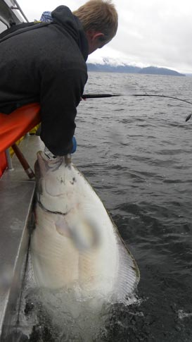 Hauling aboard a hefty halibut