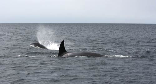 Two Whales spotted while Salmon Fishing