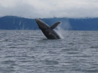 A Jumping Humpback Whale Always An Awesome View