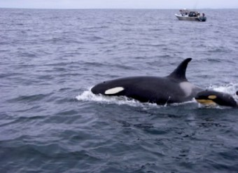 Adult Whale with Baby