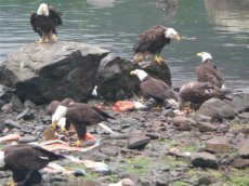 Bald Eagles Eating Fish Pieces near the lodge