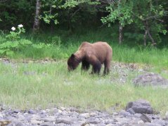 Brown Bear in Sitka, AK
