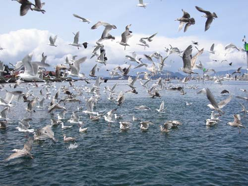 Flock Of Gulls going crazy for baitfish