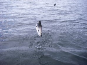 Jumping Salmon on the Line