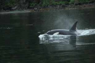 Killer Whales (Orcas) Hunting For Salmon