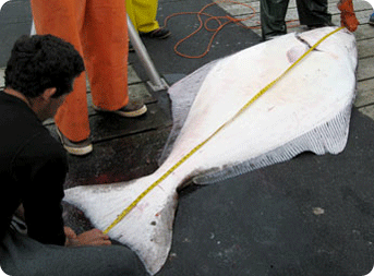 Measuring a halibut brought in from Sitka Alaska waters