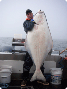 Russ lifting a halibut in Sitka Alaska from years ago