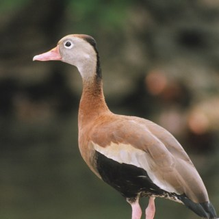 Black-bellied whistling duck. Copyright © Justin W. Moore. See more photos at OutdoorPhoto.com