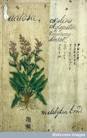 """L0030035 Japanese herbal, 17th century Credit: Wellcome Library, London. Wellcome Images images@wellcome.ac.uk http://wellcomeimages.org Contains various drawings of European plants with names/text in Old Dutch, Chinese, Japanese & Latin. """"Kruid Boek getrokken uyt Dodoneaus"""",- """"Herbal extracted from Dodoneaus"""" Published: - Copyrighted work available under Creative Commons Attribution only licence CC BY 4.0 http://creativecommons.org/licenses/by/4.0/"""
