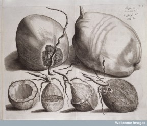 L0038483 Tenga, Hortus Indicus Malabaricus Credit: Wellcome Library, London. Wellcome Images images@wellcome.ac.uk http://wellcomeimages.org Tenga Engraving Hortus Indicus Malabaricus ... Johannis van SomerenJoannis van Dyck Published: 1678-1703 Copyrighted work available under Creative Commons Attribution only licence CC BY 4.0 http://creativecommons.org/licenses/by/4.0/