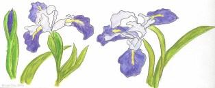 Irises along Coastal Trail - biking.