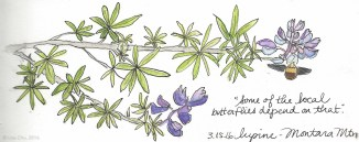 """""""Some of the local butterflies depend on that,"""" he said. A hiker stopped and asked if I knew about the plant I was drawing. This particular species of purple lupine grows natively only on the upper portions of Montara mountain in California. Other varieties exist elsewhere but this one, only here. Since I am a local butterfly, I also depend on it."""