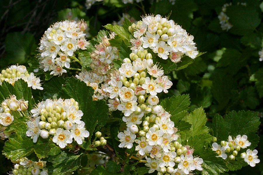 Wild Utah Photos Of Ninebark Physocarpus Malvaceus