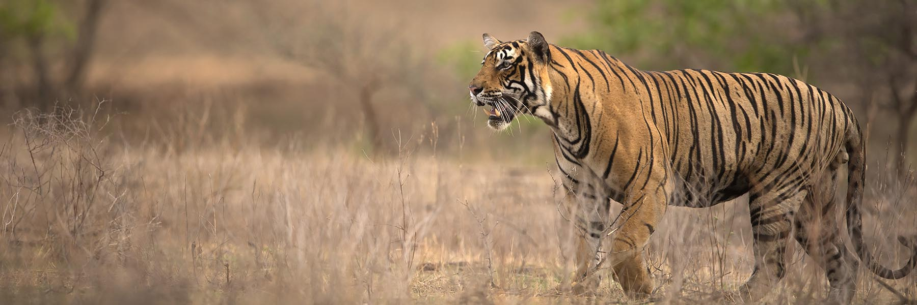 Ranthambhore Tiger Kill – A story in pictures