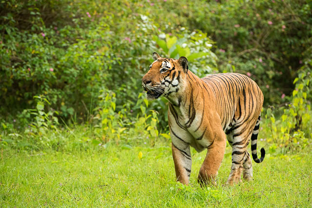 Tiger with a 70-200mm lens in India