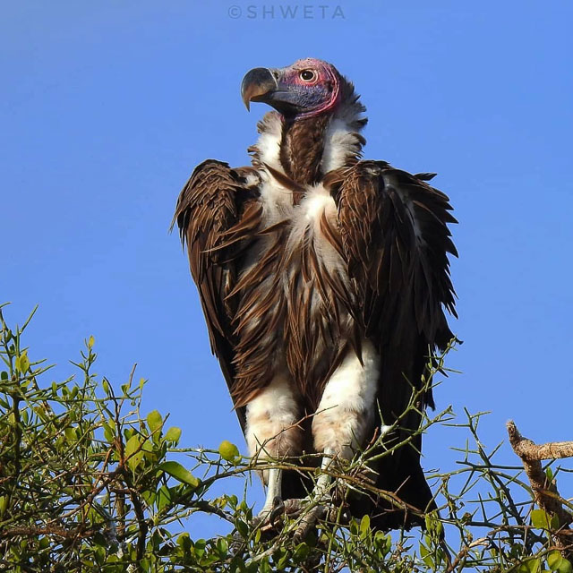 lappet faced vulture clicked by wild voyager guest