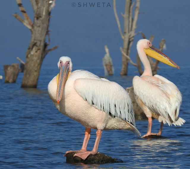 pelicans clicked by wild voyager guest