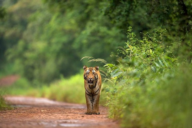 Tiger in a forest
