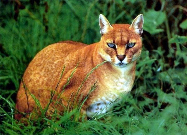 A rare picture of the African Golden Cat