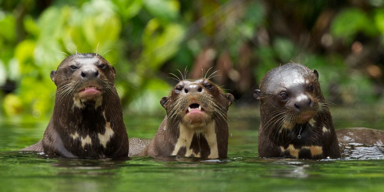 https://i1.wp.com/www.wildwatchperu.com/wp-content/uploads/2018/09/Giant-River-Otter-Salvador-Lake-Manu-park-1.jpg?resize=1280%2C640&ssl=1