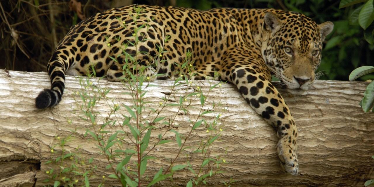 https://i1.wp.com/www.wildwatchperu.com/wp-content/uploads/2018/09/Jaguar-at-Manu-National-Park.jpg?resize=1280%2C640&ssl=1