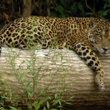 peru rainforest tours - jaguar seen along the manu river