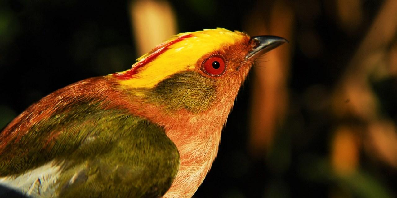 https://i1.wp.com/www.wildwatchperu.com/wp-content/uploads/2019/04/fiery-capped-manakin-quillabamba.jpg?resize=1280%2C640&ssl=1