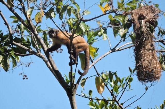capuchin monkey at manu rainforest lodge