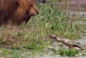 Löwe schüchtert Krokodil ein!