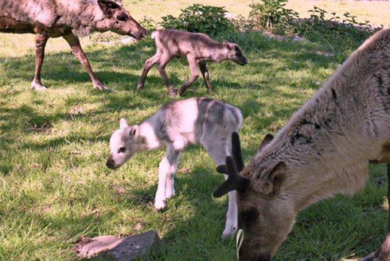Rentiernachwuchs im Tierpark Sababurg!