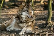 Sababurger Wolfstage: Ahuuuu!