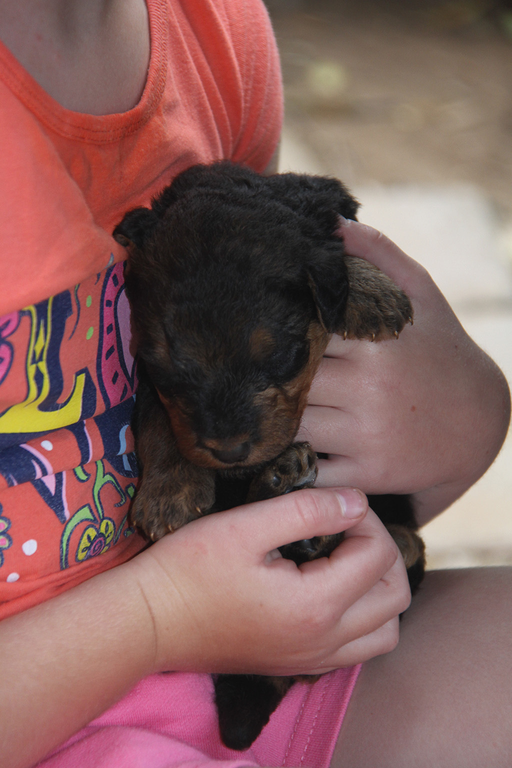 2 week old Airedale Terrier puppy