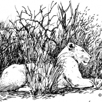 Illustration of a female lion