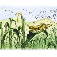 Illustration of locusts in a corn field
