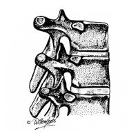 Illustration of vertebrae