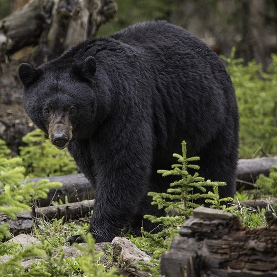 The group's original expedition was inspired by the path a black bear took across the state.