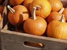 Holly Fork Farm pumpkin