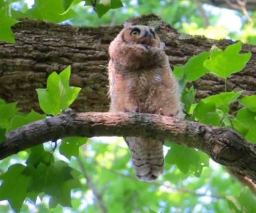 owl-on-bassett-nature-trail