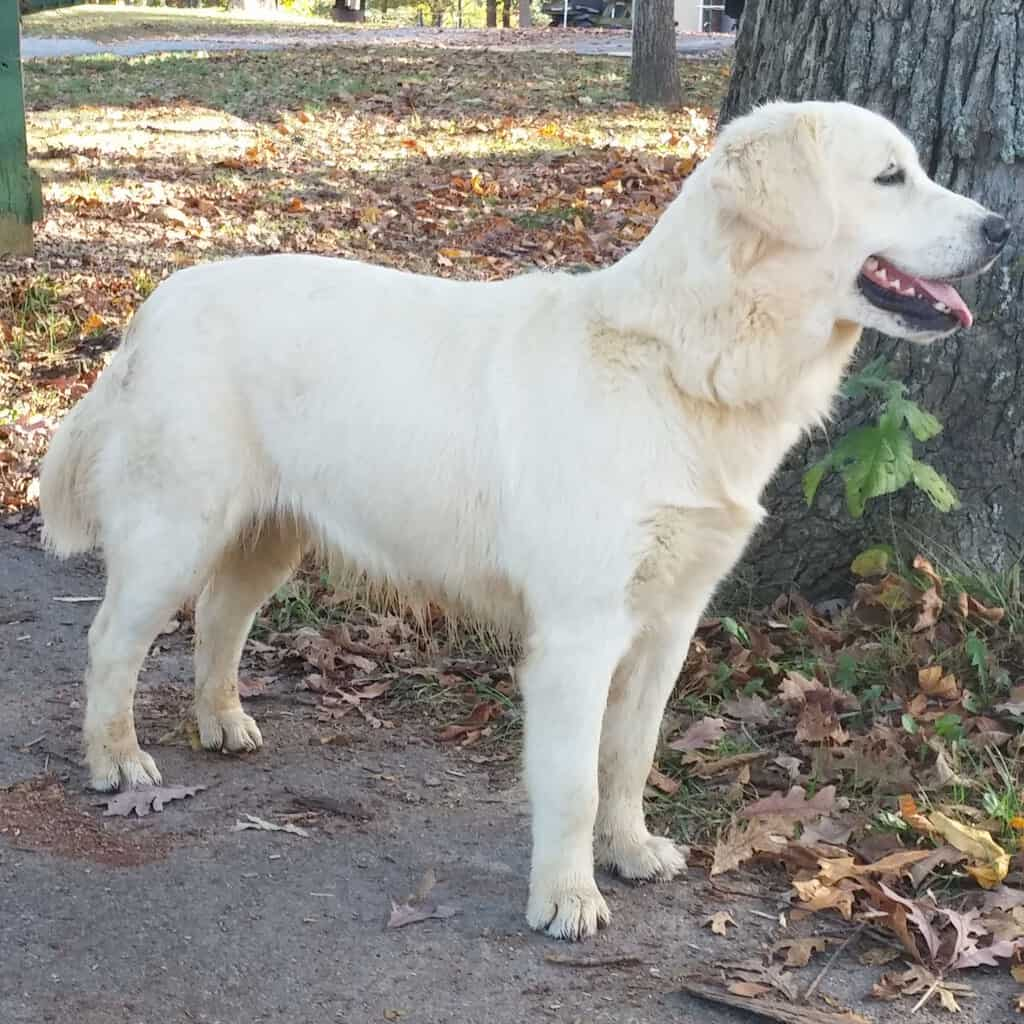 English Golden Retriever at park